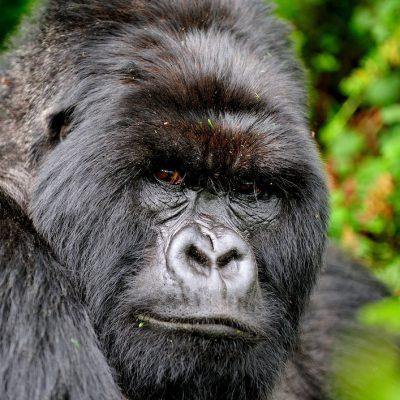 Mountain Gorilla 020