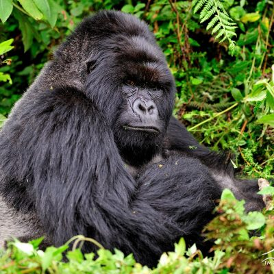 Mountain Gorilla 021