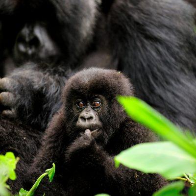 Mountain Gorilla 022