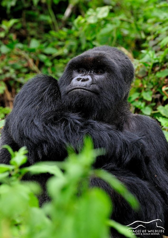 Mountain Gorilla 023