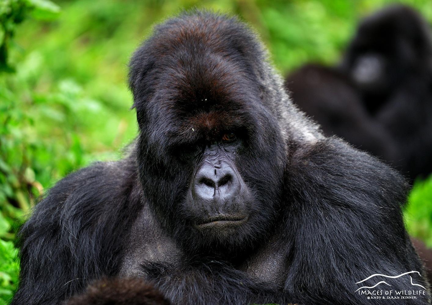 Mountain Gorilla 024