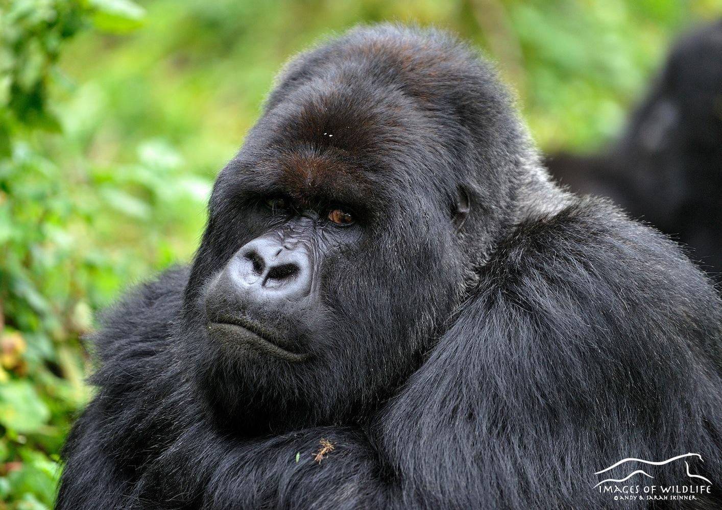 Mountain Gorilla 025