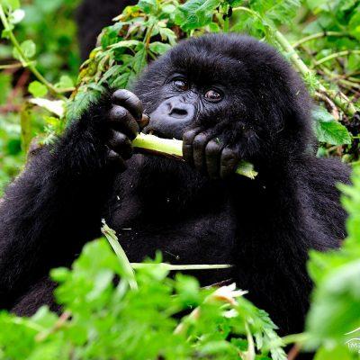 Mountain Gorilla 026
