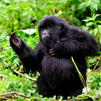 Mountain Gorilla 027
