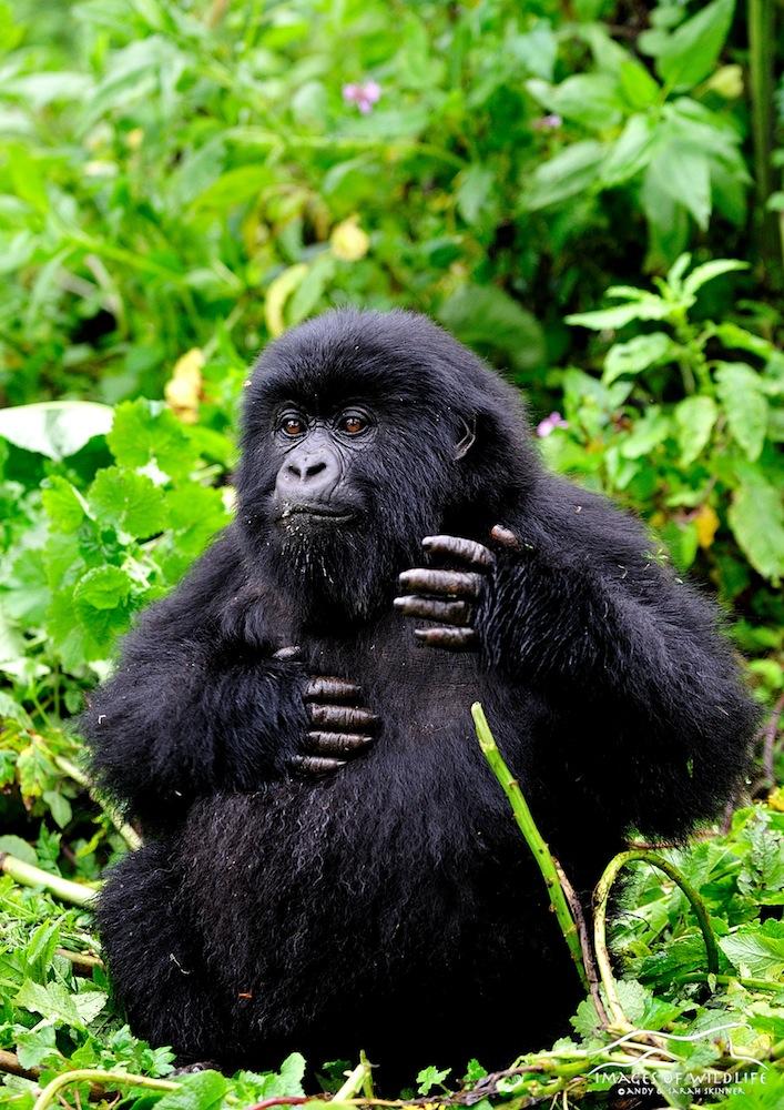 Mountain Gorilla 028