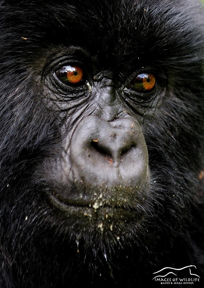 Mountain Gorilla 029