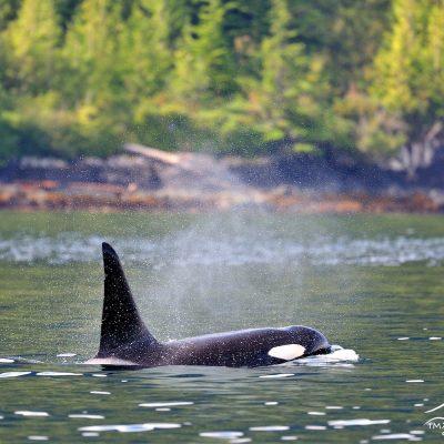 Orca 002