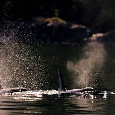 Orca 003