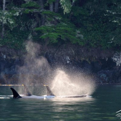 Orca 004