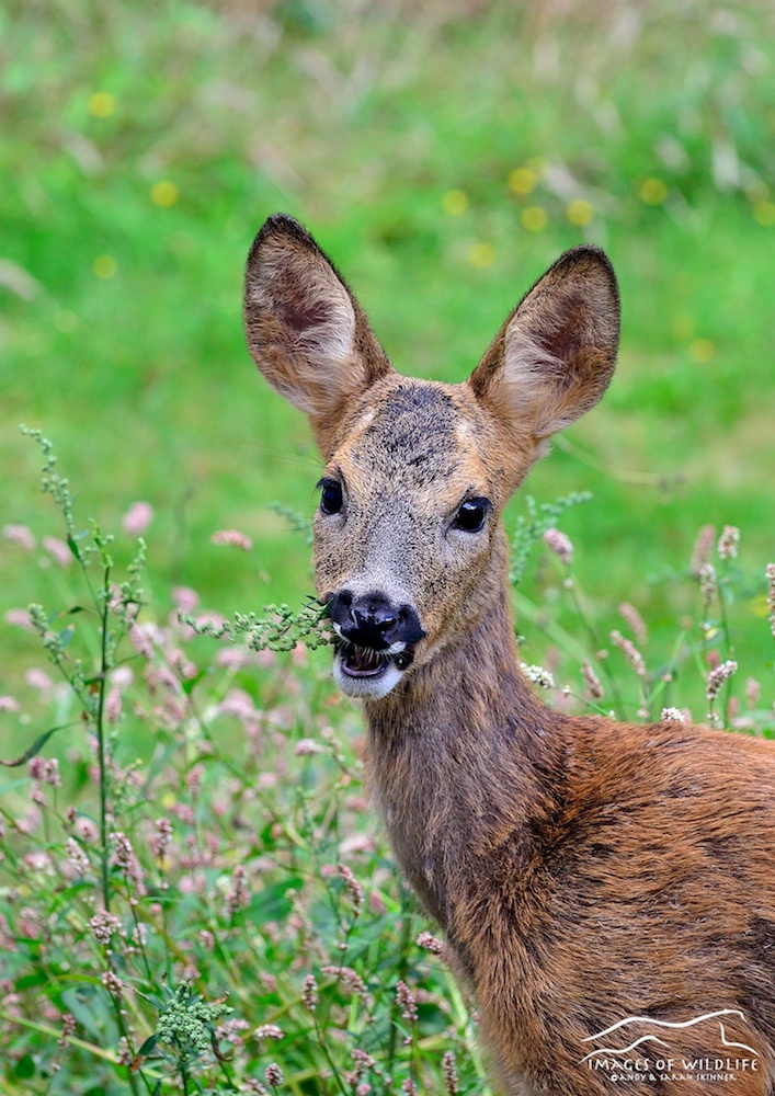 Roe Deer 003