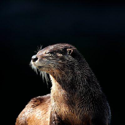 Sea Otter 002