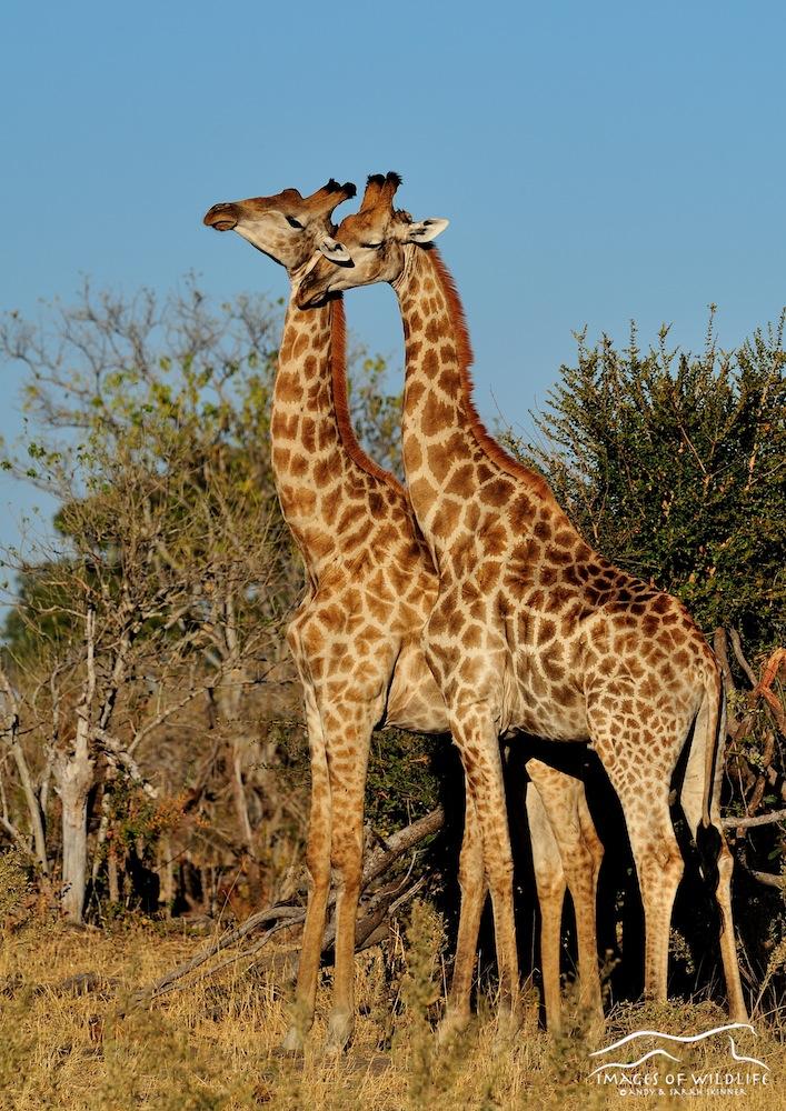 Southern Giraffe 001