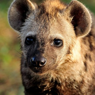Spotted Hyena 001