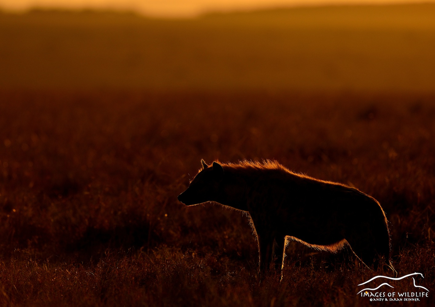 Spotted Hyena 002