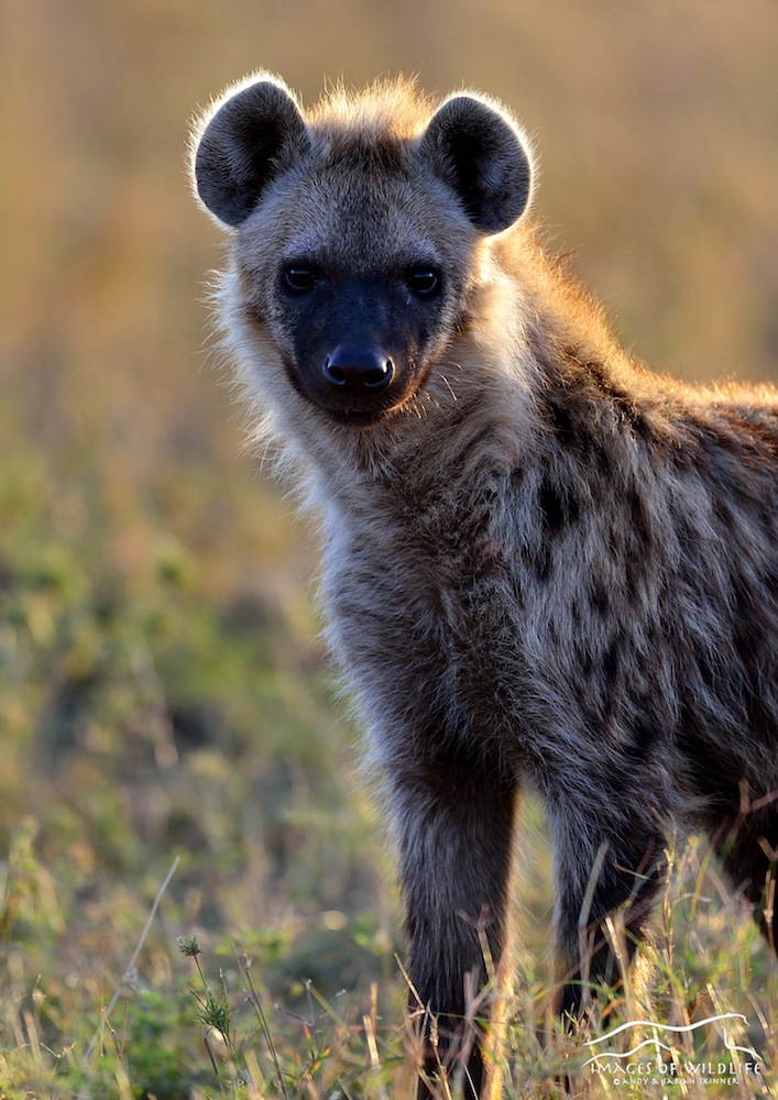Spotted Hyena 003