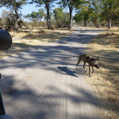 Wild Dog in Moremi, Botswana