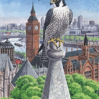 London Peregrine