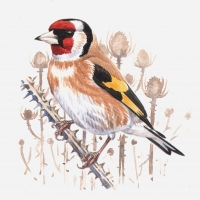 GF-Goldfinch2