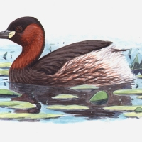 NE-LittleGrebe